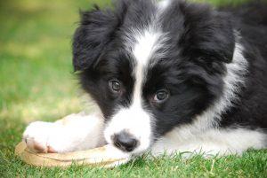 Gorgeous puppy Poppy Agility Photos